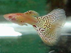 Albino king cobra Guppy