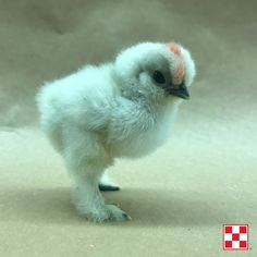 Splash Silkie Bantam chick at the Purina Animal Nutrition Center, 1 week old    We're raising chicks on our farm this year, just like you! Click the photo to learn tips for starting your chicks strong. #ChickStrong
