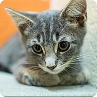 Adopt One of these Great Cats ! Virginia Beach, Adoption, Cats, Animals, Gatos, Animais, Animales, Kitty Cats, Animaux