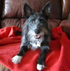 Winnie is an adoptable Schnauzer Dog in Frisco, TX. Looking for an adorable, active, fun-loving pooch to join your household?  If so, you owe it to yourself to meet the Amazing Winnie!  This cute-as-a...