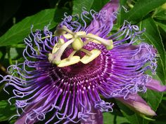 The Passionflower: The Sacred Symbol - WishGarden Herbs