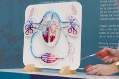 Maqueta Sistema Circulatorio Humano