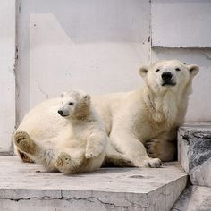#polarbear #baby #zoo - caged for life
