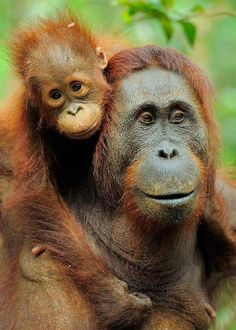 mom-and-baby-orangutan