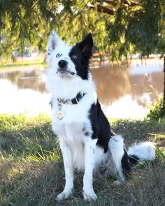 """Black and white Border Collie with """"pirate"""" marking (the marking """"pirate"""" is one side of the dog's face is white and the other colored, the name """"pirate"""" refers to the eye patch of the pirates). White Border Collie, Border Collies, Clever Dog, Farm Dogs, Herding Dogs, Blue Merle, Cute Little Baby, Dog Quotes, Shepherd Dog"""