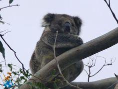 Koalas en Kennet River