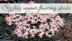 Sizzling summer flowering shrubs - Sambucus racemosa Black Lace (image + link)