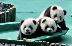 Irmãos pandas vivem na China