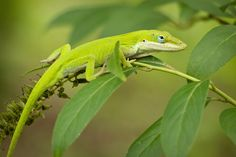 Photograph Green anole lizard in natural habitat by rahul chdry on 500px