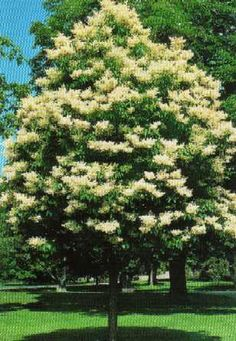 Amazing Ivory Silk Lilac   Does Well. Beautiful Bark. Beautiful Flower Clusters In  May/. Ivory SilkGarden TreesLilacsBeautiful ...