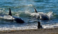 Orca's on the hunt