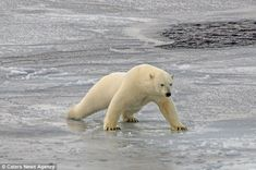 Despite not initially falling through the thin ice, he starts the spread his weight to try...