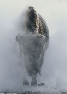 A bison in steam during winter, Yellowstone National Park