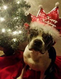 Santa's Little Helper, Boston Terriers, Christmas Animals, Best Dogs, Pets, Pictures, Photos, Boston Terrier, Terriers