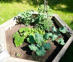 Hämmentäjä: Kasvimaa kesäkuussa. My garden in June.