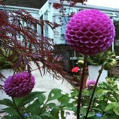 #purple #pompom #dahlia #flowers #flower #mygarden #nature #flowerstagram #flowersofinstagram #flowerslovers #summer #summertime #gardening