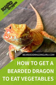 Getting your bearded dragon to eat its vegetables can be tricky sometimes. Vegetables may not be your bearded dragon's favourite food, however, they are important to its health.It's no secret that bearded dragons can be very picky when it comes to eating. #beardeddragonhealth #beardeddragondiet  Photo credit:  @escobarthebeardie