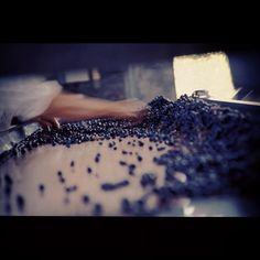 Manual Selection of our Malbec grapes