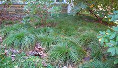 Lawn substitute.  Carex albicans.