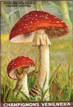 Tan bella y mortal. Mushroom Crafts, Mushroom Art, Mushroom Fungi, Pseudo Science, Nature Illustration, Rug Hooking, Vintage Images, Vintage Prints, Art Images