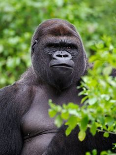 Silverback Lowland Gorilla by Adam Jones (This is, like, the Leroy Brown of the jungle!)
