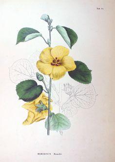 Hibiscus hamabo Flora Japonica, Sectio Prima (1870) by Philipp Franz von Siebold and Joseph Gerhard Zuccarini.  http://www.biolib.devia Wikimedia