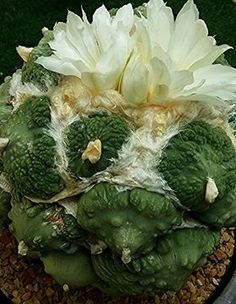 Ariocarpus hybrid...(maruibo x cauliflower)
