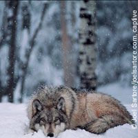 Demand a emediate status review of wolves in the Northern Rockies! First step towards being able to try and start to get them protected again!