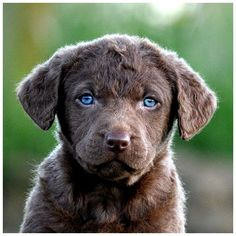 Chesapeake Bay Retriever pup