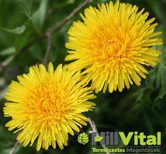 Gyermekláncfű élettanihatásaiA gyermekláncfű füves területeken, főleg a kertekben és szántókon jelenik meg. A gyermekláncfű levele a vitaminokés ásványi anyagokgazdag forrása. Sok