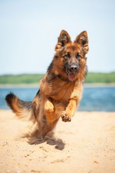 German Shepherd Pictures, German Shepherd Dogs, German Shepherds, Schaefer, Bow Wow, Cute Animal Pictures, Dog Photos, Cute Baby Animals, Mans Best Friend