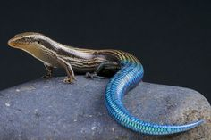 Gran Canaria blue-tailed skink / Chalcides sexlineatus