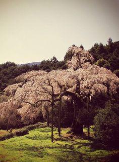 長興山のしだれ桜 #sakura #CherryBlossom Cherry Blossoms, Monument Valley, Trees, Spring, Nature, Naturaleza, Cherry Blossom, Tree Structure, Japanese Cherry Blossoms