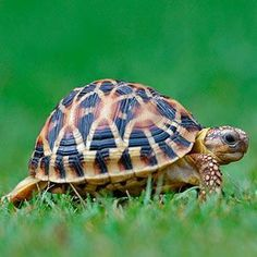 Pet Turtle Care Guide Turtles are reptiles and belong to order Testudines. They are cold blooded animals and unable to Baby Tortoise, Tortoise Care, Tortoise Turtle, Tortoise Food, Tortoise House, Sulcata Tortoise, Animals And Pets, Baby Animals, Cute Animals