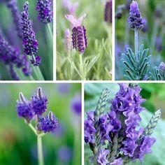 Vysněná zahrada: Kterou levanduli vybrat pro zahradu? Lavander, Flowers, Plants, Gardens, Pictures, Outdoor Gardens, Plant, Royal Icing Flowers, Flower