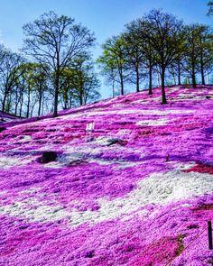 Higashimokoto Shibazakura Park, Ozora, Abashiri, Hokkaido, J Beautiful Flowers, Beautiful Places, Japon Tokyo, Save Environment, Save Nature, Garden Animals, Belleza Natural, Places Around The World, Landscape Photos