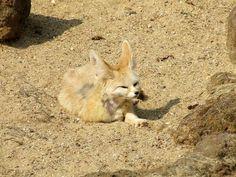 Renard des sables ou fennec