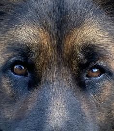 I Love Dogs, Cute Dogs, Puppies And Kitties, Belgian Malinois, Dog Rules, German Shepherd Puppies, Dogs Of The World, Animals Beautiful, Animals And Pets