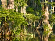 Bald cypress trees draped in Spanish moss are an iconic symbol of Cajun country.