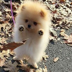 Adorable Little Baby Pomeranian Puppy having fun with the Autumn Leaves