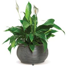 Peace Lily - low light plant.  Bamboo Palm and Cast Iron Plant also.