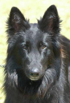 Belgian Shepherd -  my puppy I got from darlington south carolina animal rescue