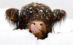 A cheeky wee Highland cow spotted near Culloden Battlefield, Scotland