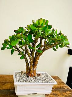 Jade Succulent, Succulent Bowls, Succulents Garden, Garden Plants, Jade Bonsai, Crassula Ovata, Miniature Fairy Gardens, Go Green, Container Gardening