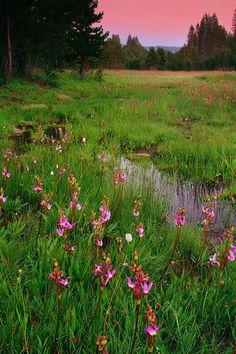 My kind of meadow-Mountain meadow