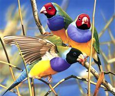 Gouldian Finch ♥ Australia