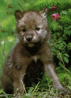 Wolf pup- how gorgeous is that?!