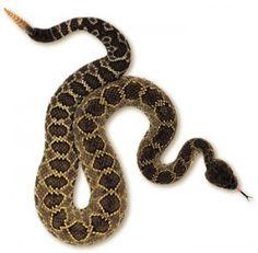 Conoce las serpientes venenosas de México, sólo son 4