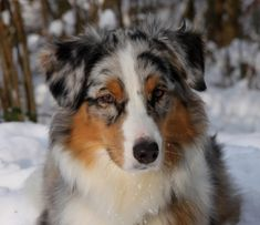 Australian shepherd. I love this breed of dogs and what a beautiful one this is. Although I am partial to my girl, she is a blue Merle and I love her to pieces!