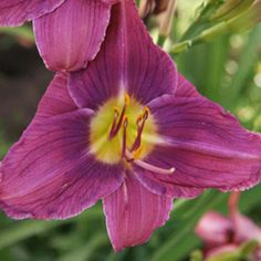 Prairie Blue Eyes Daylily